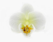 Orchid Head White with cream centre (Pack of 24)-Orchid Head, white orchid, artificial flowers, fake flowers, DIY, wedding, bomboniere, phalaenopsis orchids